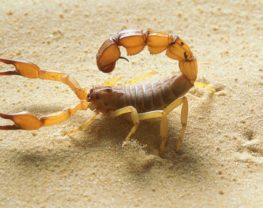 scorpion mexique